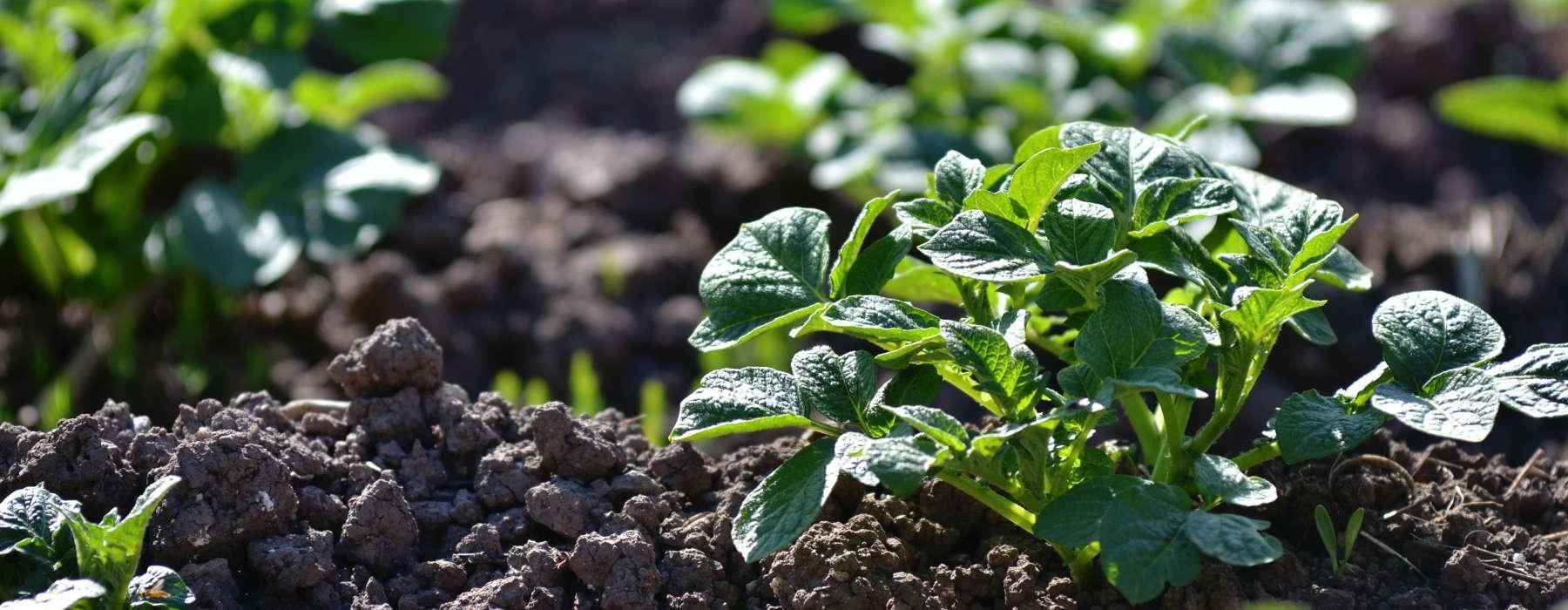 FNP nijs lanbou 1 plantsje