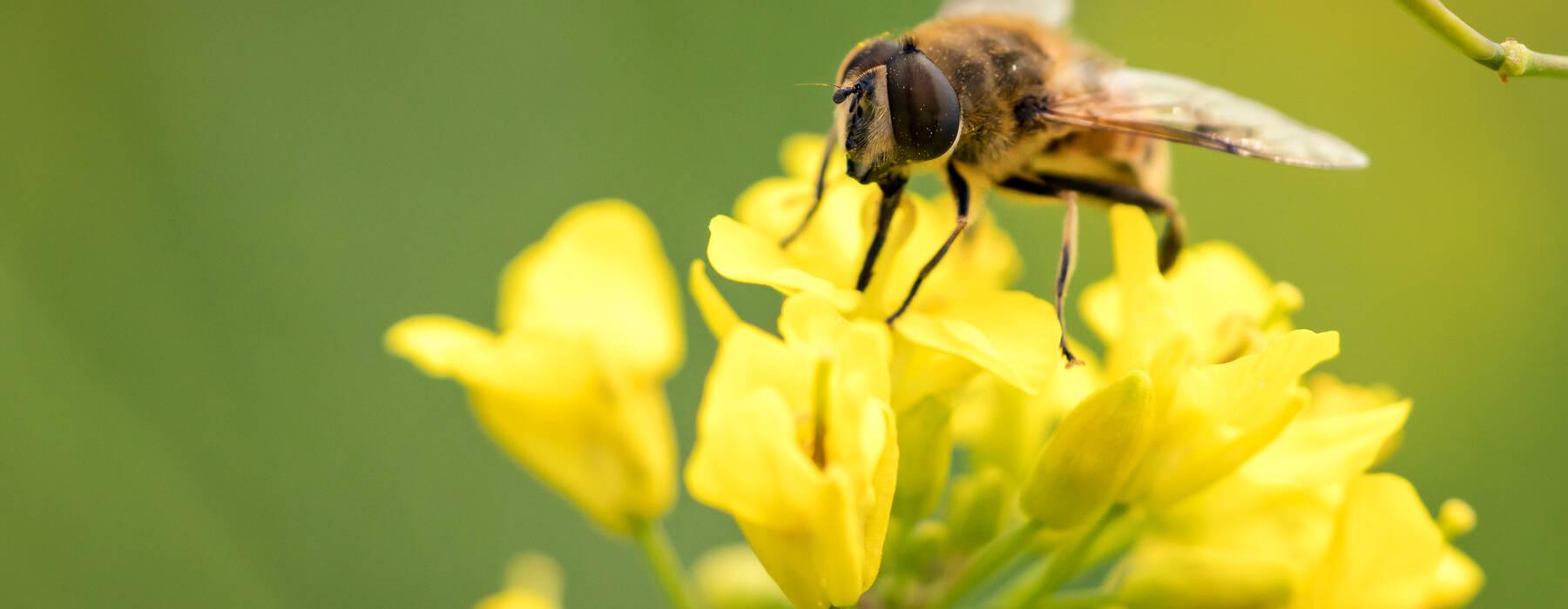Nijs FNP - Bioferskaat - Bij op blom