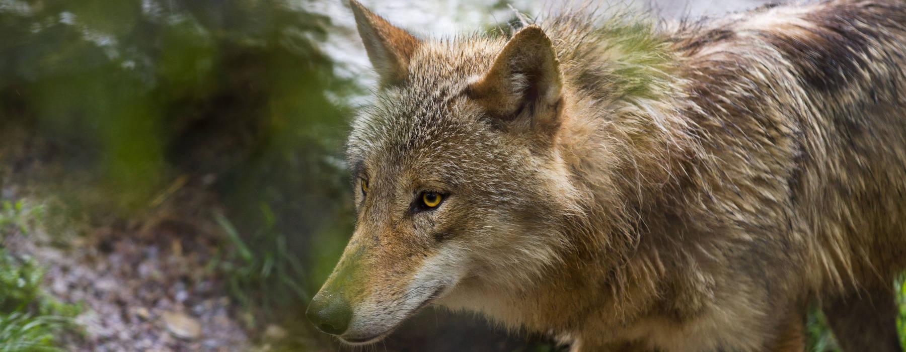 Nijs FNP - Natuer en lanskip - Wolf